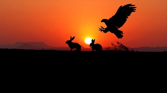Eagle Flying High Snatching Rabbits