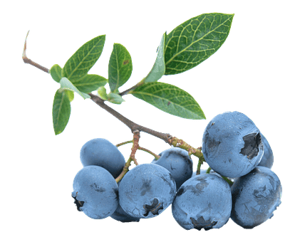Blueberries antioxidants improve memory